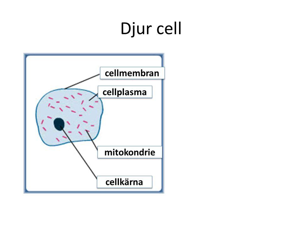 Djur cell cellmembran cellplasma mitokondrie cellkärna