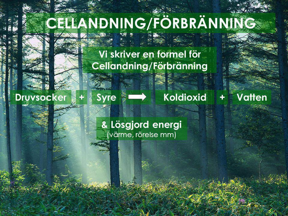 CELLANDNING/FÖRBRÄNNING Vi skriver en formel för Cellandning/Förbränning Druvsocker+SyreKoldioxid+Vatten & Lösgjord energi (värme, rörelse mm)