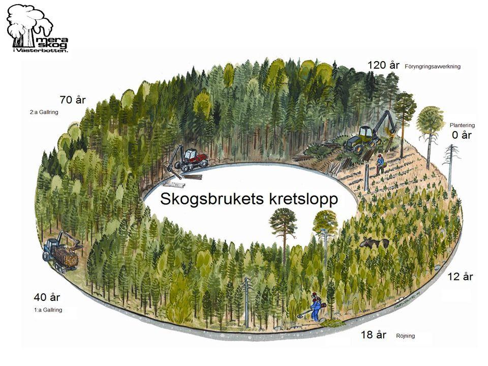 Skogen i Västerbotten växer med 9,5 miljoner kubikmeter per år – eller 80 000 kubikmeter varje sommardag.