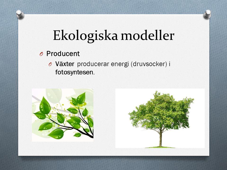 Ekologiska modeller O Producent O Växter producerar energi (druvsocker) i fotosyntesen.