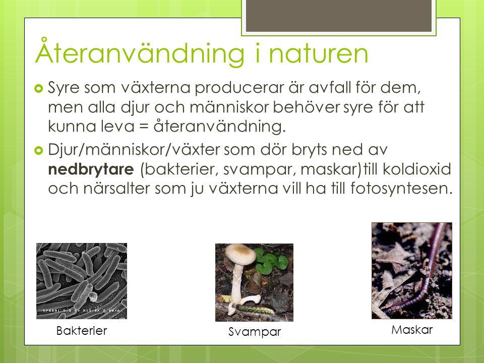 Återanvändning i naturen  Syre som växterna producerar är avfall för dem, men alla djur och människor behöver syre för att kunna leva = återanvändnin