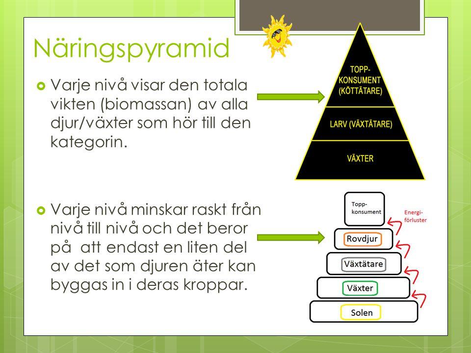 Näringspyramid  Varje nivå visar den totala vikten (biomassan) av alla djur/växter som hör till den kategorin.  Varje nivå minskar raskt från nivå t