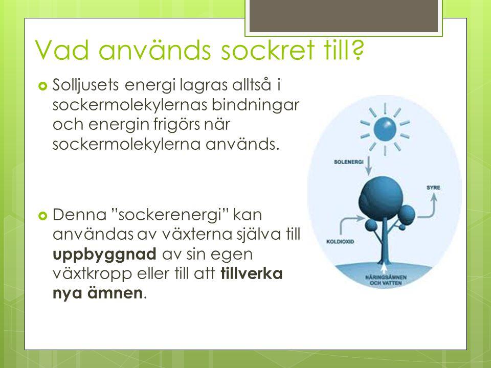 Vad används sockret till?  Solljusets energi lagras alltså i sockermolekylernas bindningar och energin frigörs när sockermolekylerna används.  Denna