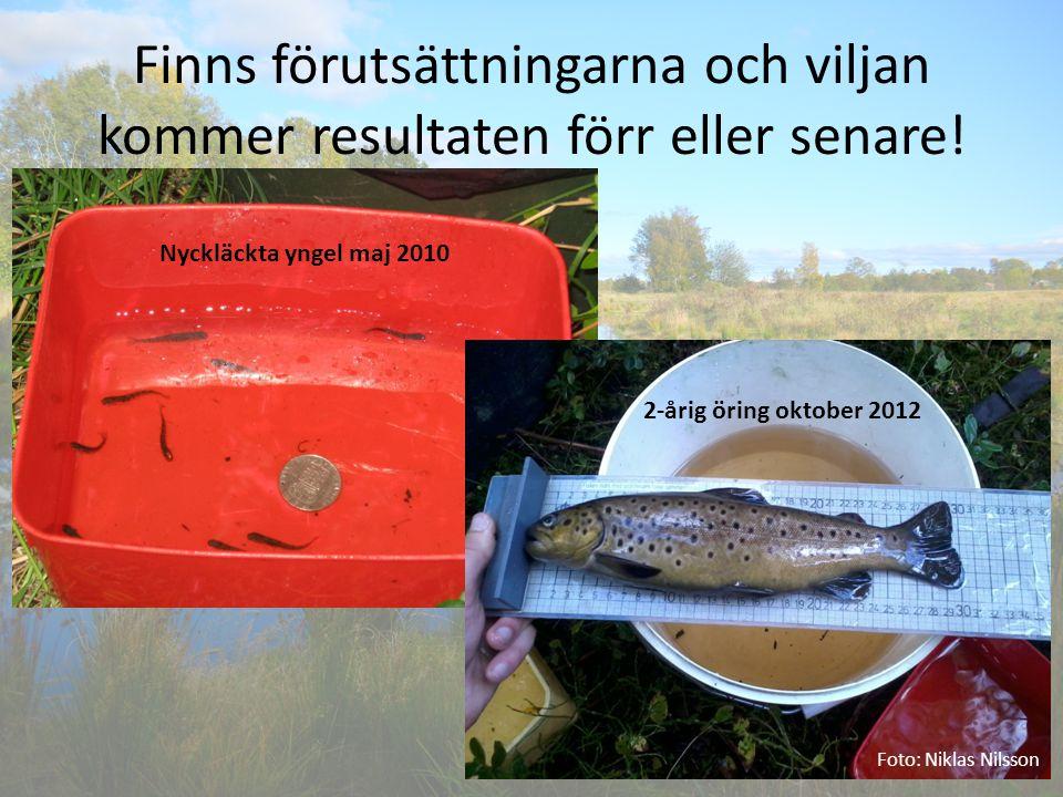 Finns förutsättningarna och viljan kommer resultaten förr eller senare! Foto: Niklas Nilsson Nyckläckta yngel maj 2010 2-årig öring oktober 2012
