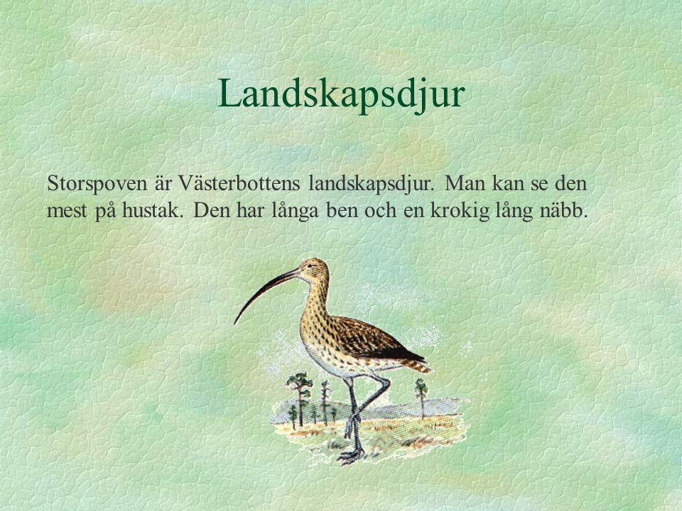 Landskapsdjur Storspoven är Västerbottens landskapsdjur.