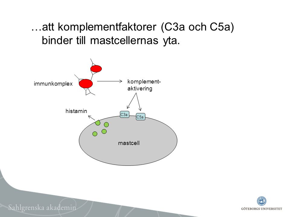 …att komplementfaktorer (C3a och C5a) binder till mastcellernas yta. mastcell immunkomplex komplement- aktivering C3a C5a histamin