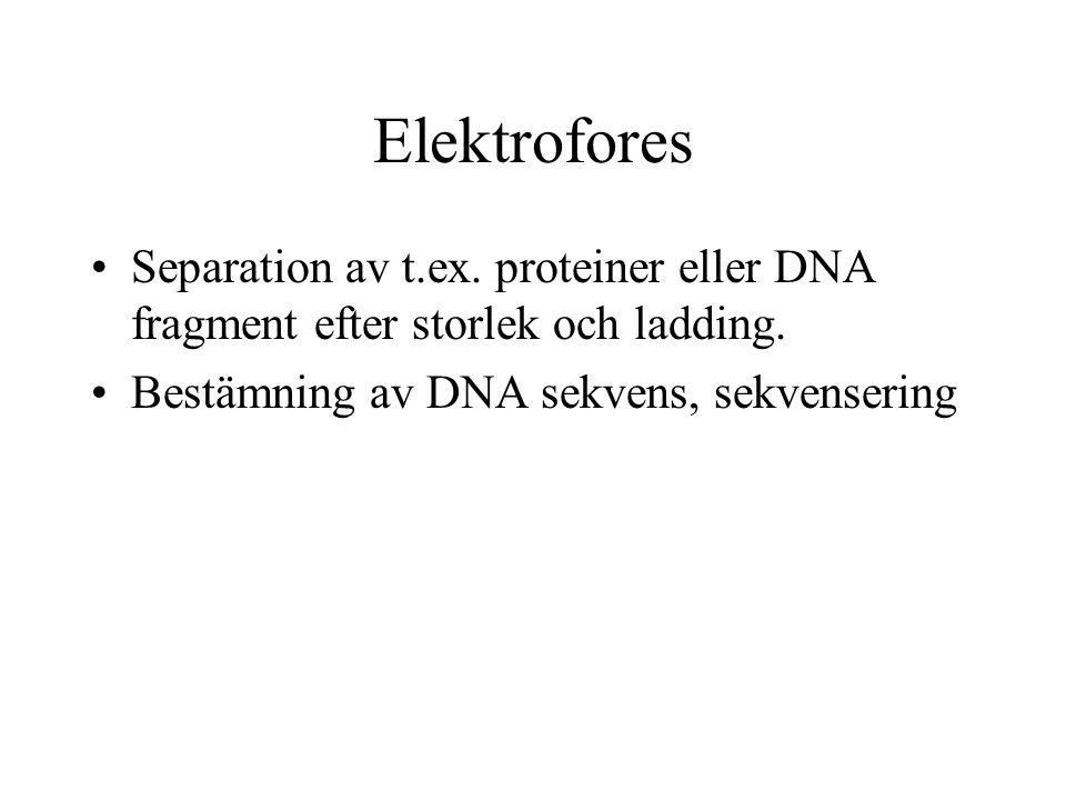 Elektrofores Separation av t.ex.proteiner eller DNA fragment efter storlek och ladding.