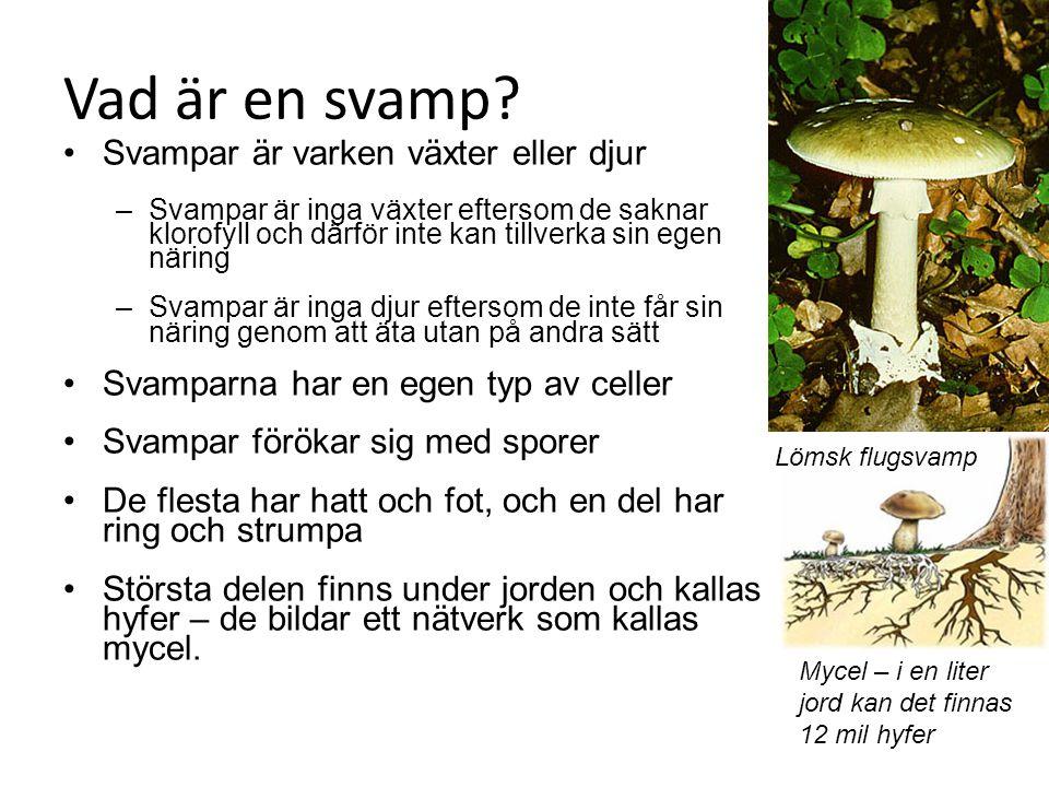 Vad är en svamp? Svampar är varken växter eller djur –Svampar är inga växter eftersom de saknar klorofyll och därför inte kan tillverka sin egen närin