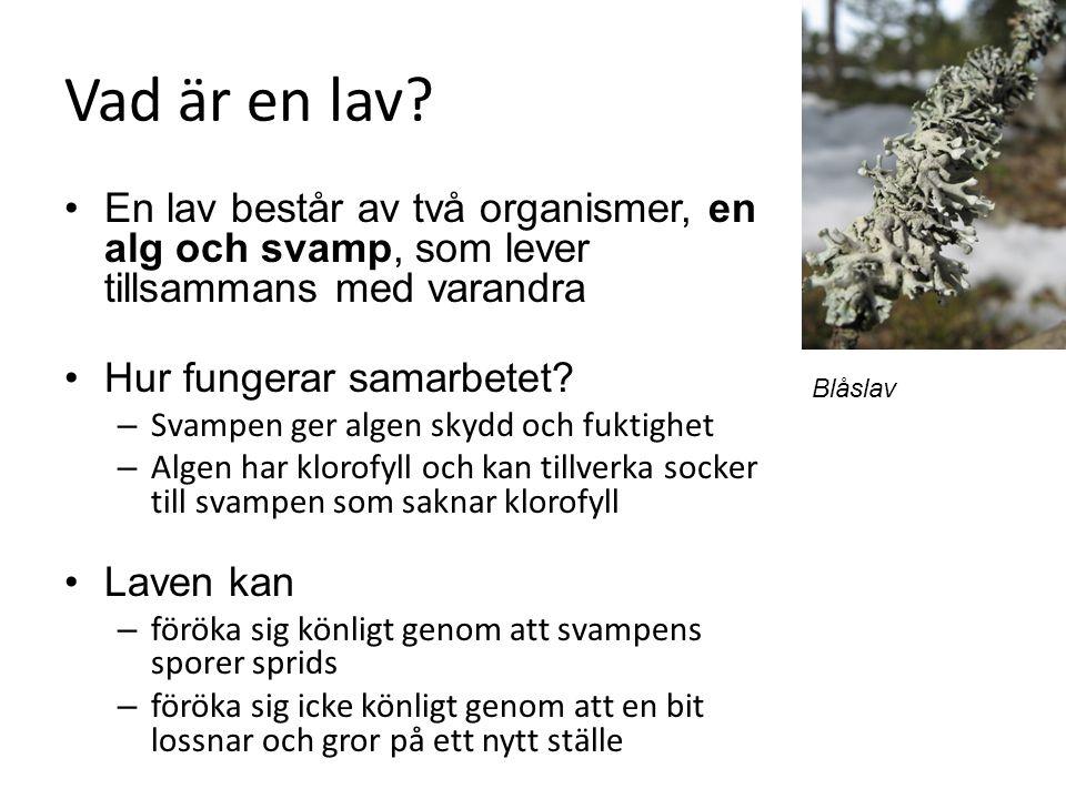 Vad är en lav? En lav består av två organismer, en alg och svamp, som lever tillsammans med varandra Hur fungerar samarbetet? – Svampen ger algen skyd