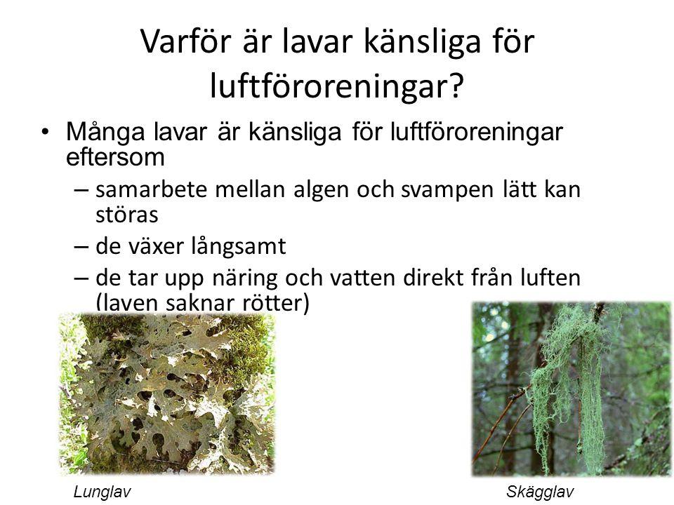 Varför är lavar känsliga för luftföroreningar? Många lavar är känsliga för luftföroreningar eftersom – samarbete mellan algen och svampen lätt kan stö