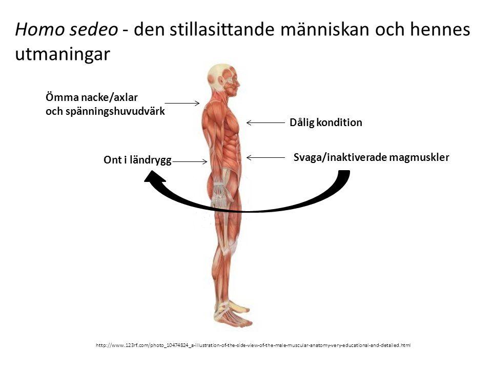 Homo sedeo - den stillasittande människan och hennes utmaningar http://www.123rf.com/photo_10474824_a-illustration-of-the-side-view-of-the-male-muscular-anatomy-very-educational-and-detailed.html Ömma nacke/axlar och spänningshuvudvärk Dålig kondition Ont i ländrygg Svaga/inaktiverade magmuskler