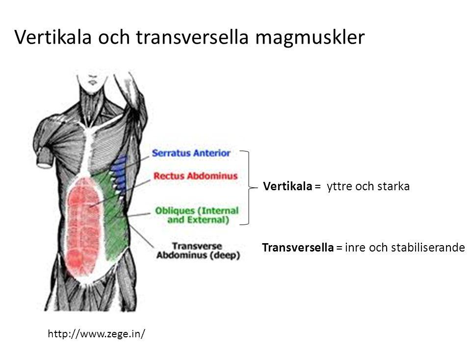 http://www.zege.in/ Transversella = inre och stabiliserande Vertikala = yttre och starka Vertikala och transversella magmuskler