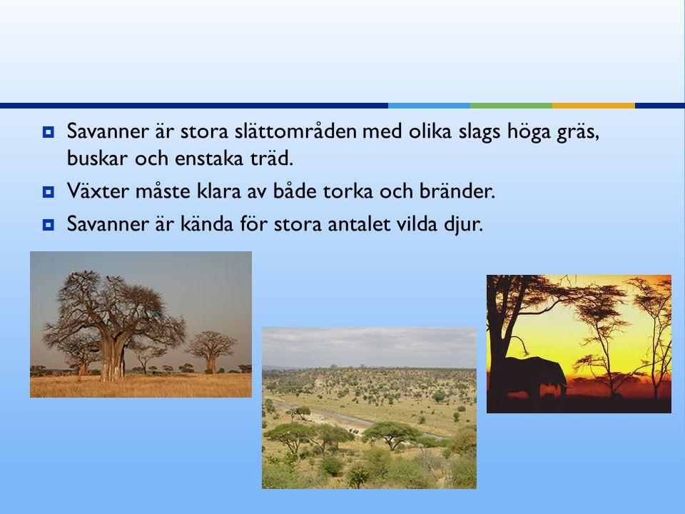  Savanner är stora slättområden med olika slags höga gräs, buskar och enstaka träd.  Växter måste klara av både torka och bränder.  Savanner är kän
