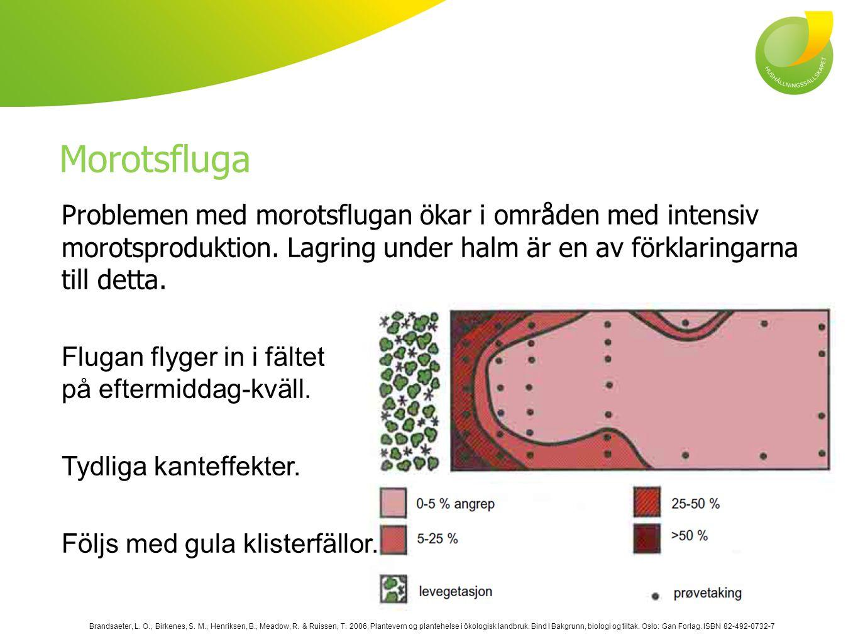 Morotsfluga Problemen med morotsflugan ökar i områden med intensiv morotsproduktion.