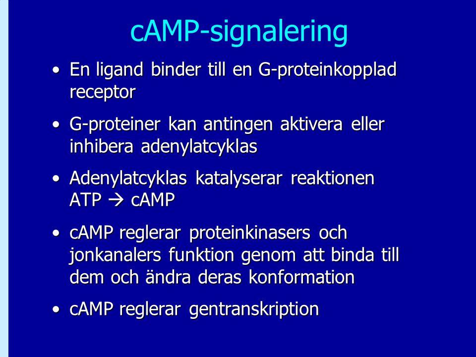 cAMP-signalering En ligand binder till en G-proteinkopplad receptorEn ligand binder till en G-proteinkopplad receptor G-proteiner kan antingen aktiver