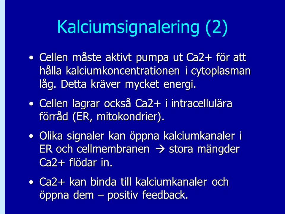 Kalciumsignalering (2) Cellen måste aktivt pumpa ut Ca2+ för att hålla kalciumkoncentrationen i cytoplasman låg. Detta kräver mycket energi.Cellen mås