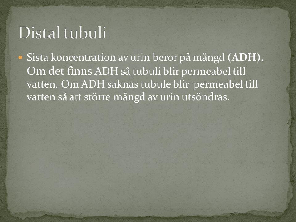 Sista koncentration av urin beror på mängd (ADH).
