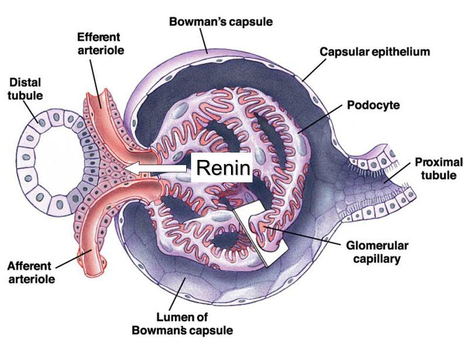 Renin (njuren) ACE (lunga) Angiotensinogen (kärlendotel) Angiotensin Aldosteron (binjuren) Vasokonstriktion Saltretention