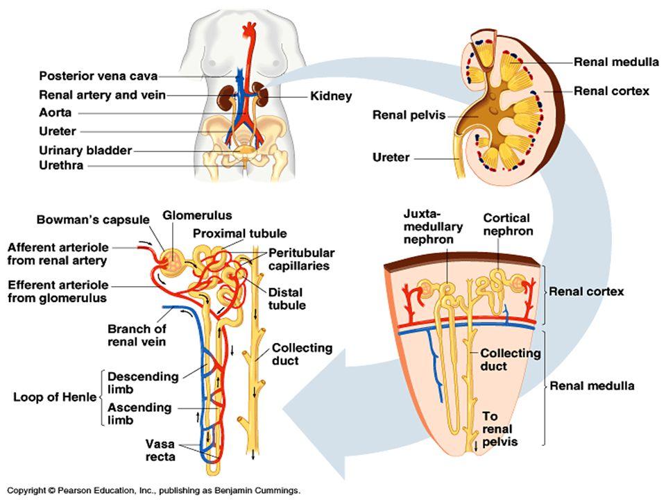 ACEReninAngiotensinogen AII Kärlmuskelcell