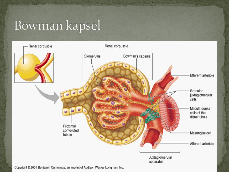 Ischemi är redan den i särklass effektivaste diuretikan