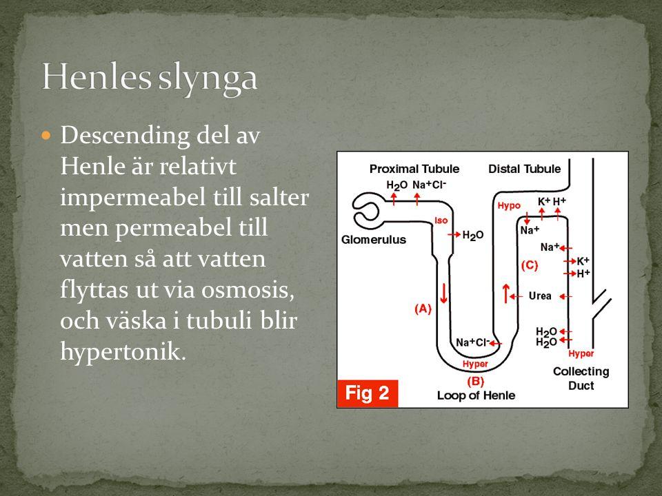 Descending del av Henle är relativt impermeabel till salter men permeabel till vatten så att vatten flyttas ut via osmosis, och väska i tubuli blir hypertonik.
