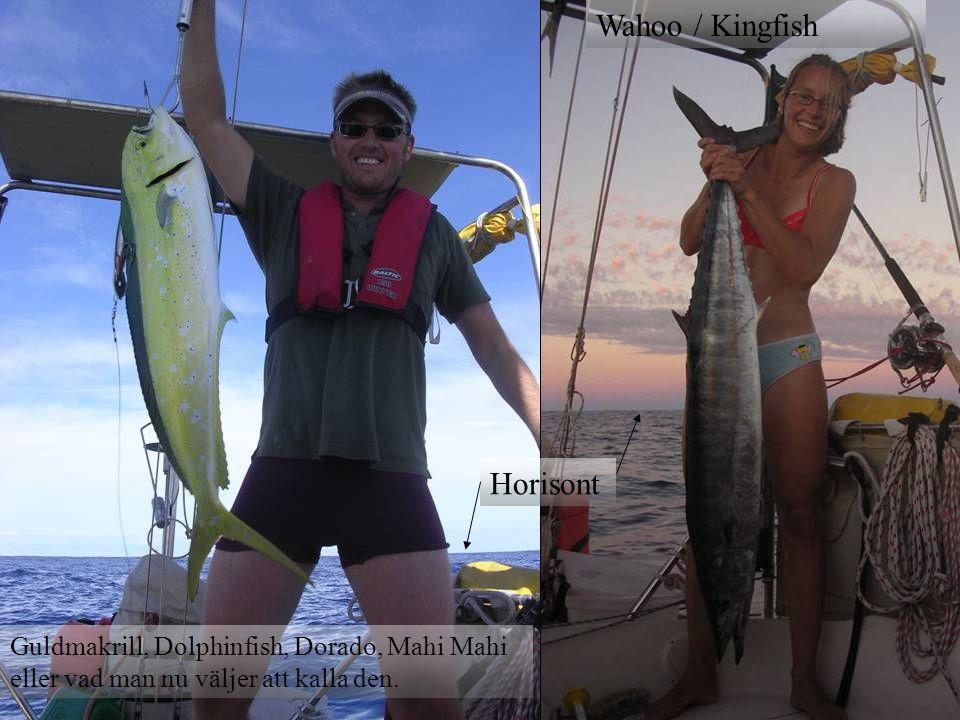 Horisont Guldmakrill, Dolphinfish, Dorado, Mahi Mahi eller vad man nu väljer att kalla den. Wahoo / Kingfish