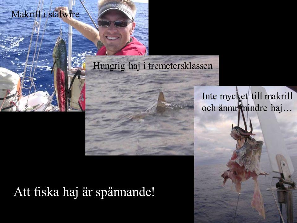 Att fiska haj är spännande! Makrill i stålwire Hungrig haj i tremetersklassen Inte mycket till makrill och ännu mindre haj…