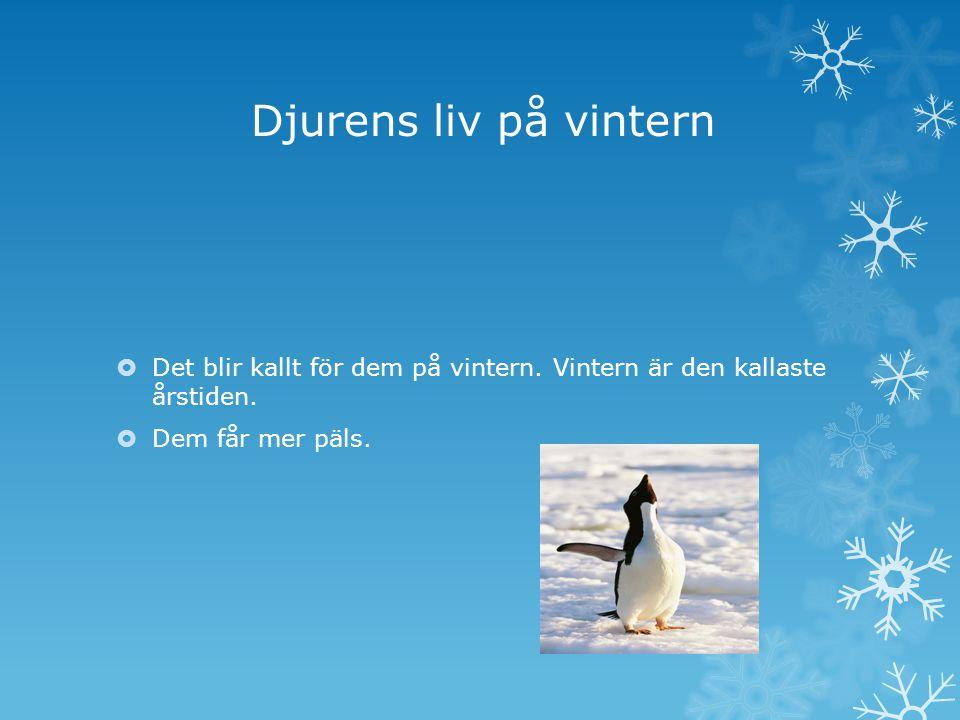 Djurens liv på vintern  Det blir kallt för dem på vintern. Vintern är den kallaste årstiden.  Dem får mer päls.