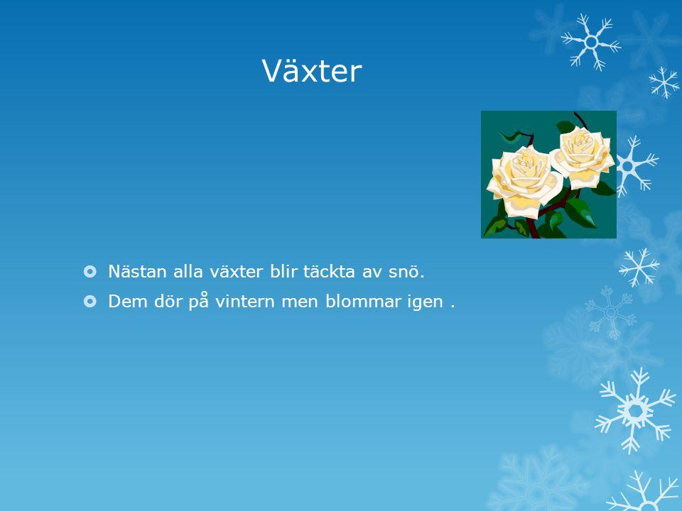 Växter  Nästan alla växter blir täckta av snö.  Dem dör på vintern men blommar igen.