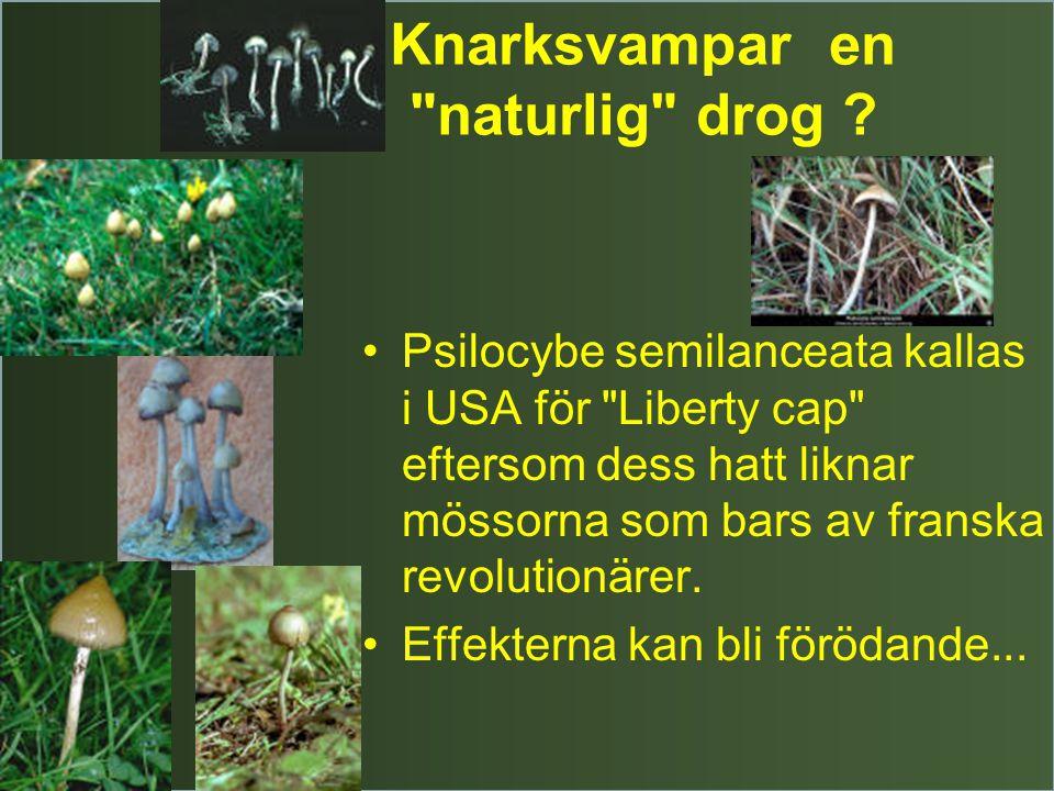 Knarksvampar en naturlig drog .