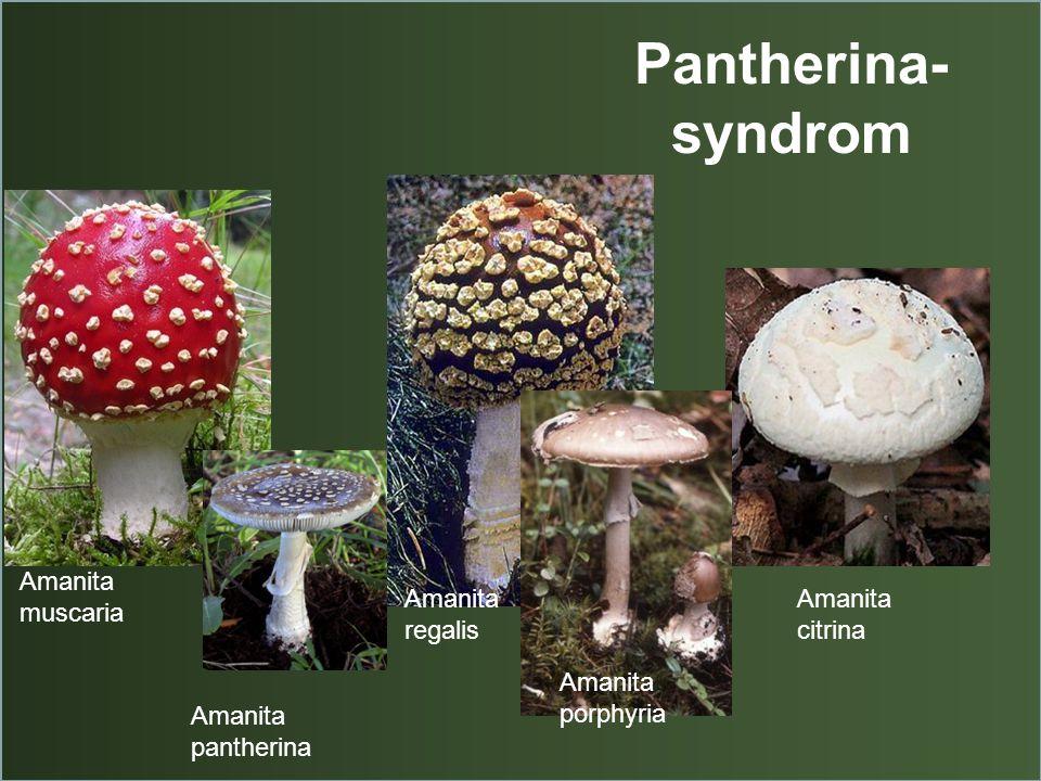 Pantherina- syndrom Amanita muscaria Amanita pantherina Amanita regalis Amanita porphyria Amanita citrina
