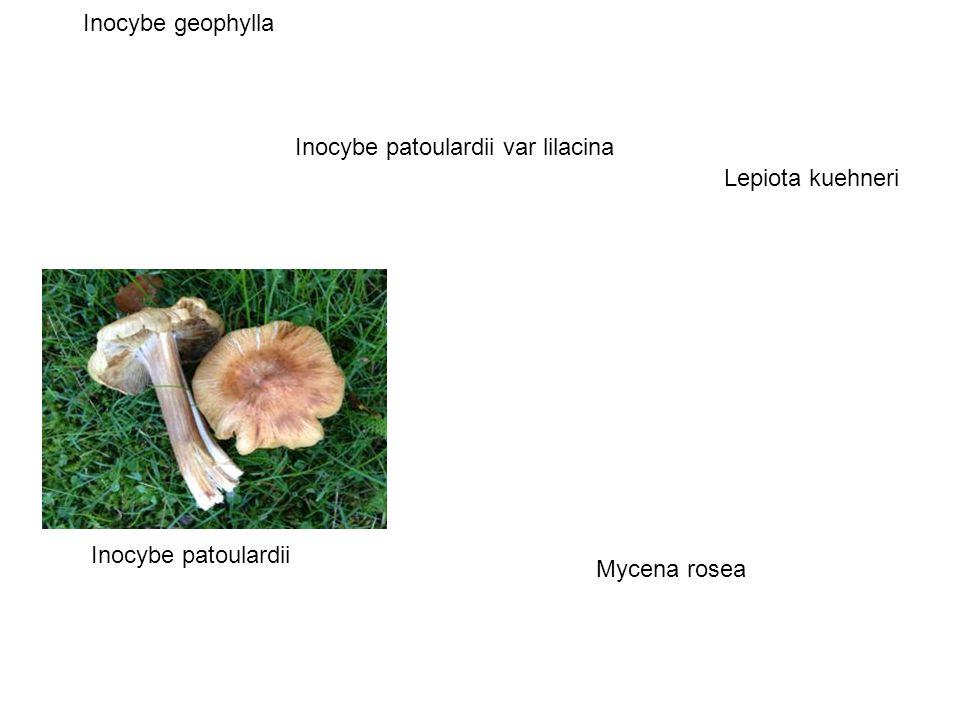 Inocybe patoulardii Lepiota kuehneri Inocybe geophylla Inocybe patoulardii var lilacina Mycena rosea