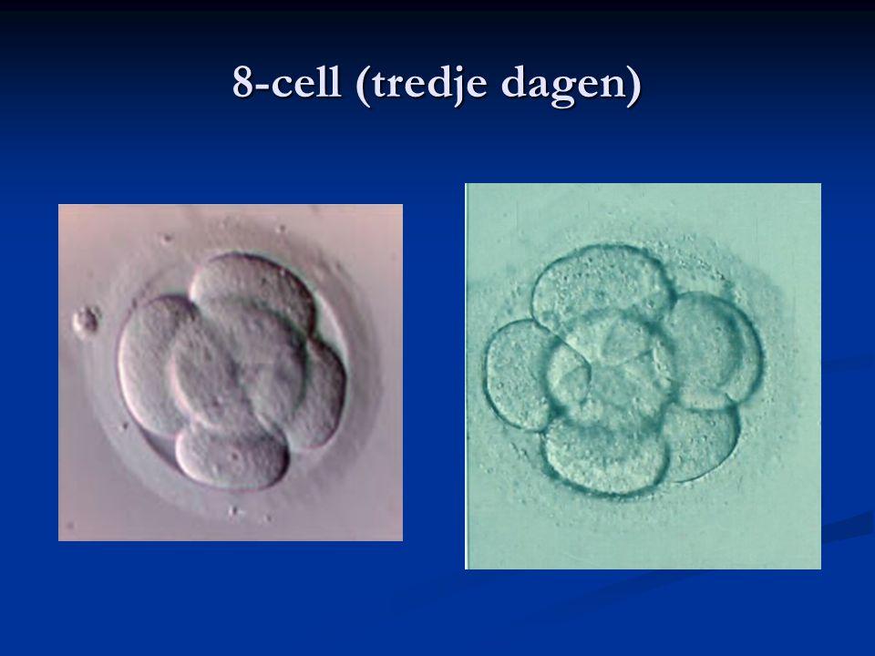8-cell (tredje dagen)