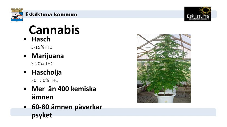 Cannabis Hasch 3-15%THC Marijuana 3-20% THC Hascholja 20 - 50% THC Mer än 400 kemiska ämnen 60-80 ämnen påverkar psyket
