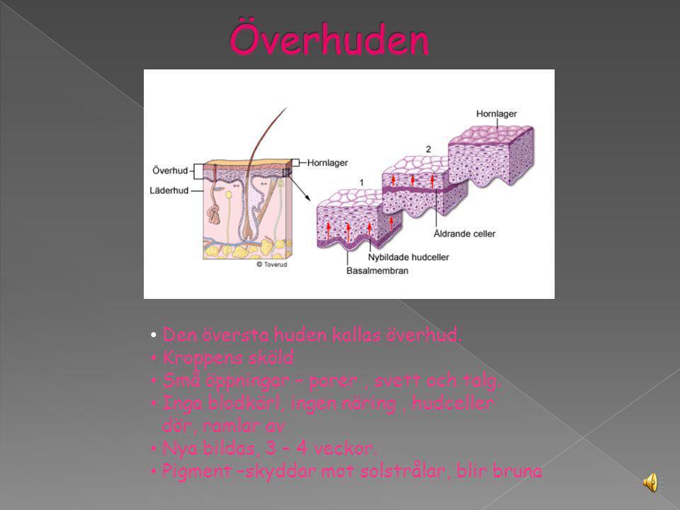 Huden delas in i tre olika lager som kallas: Överhud Läderhud Underhud