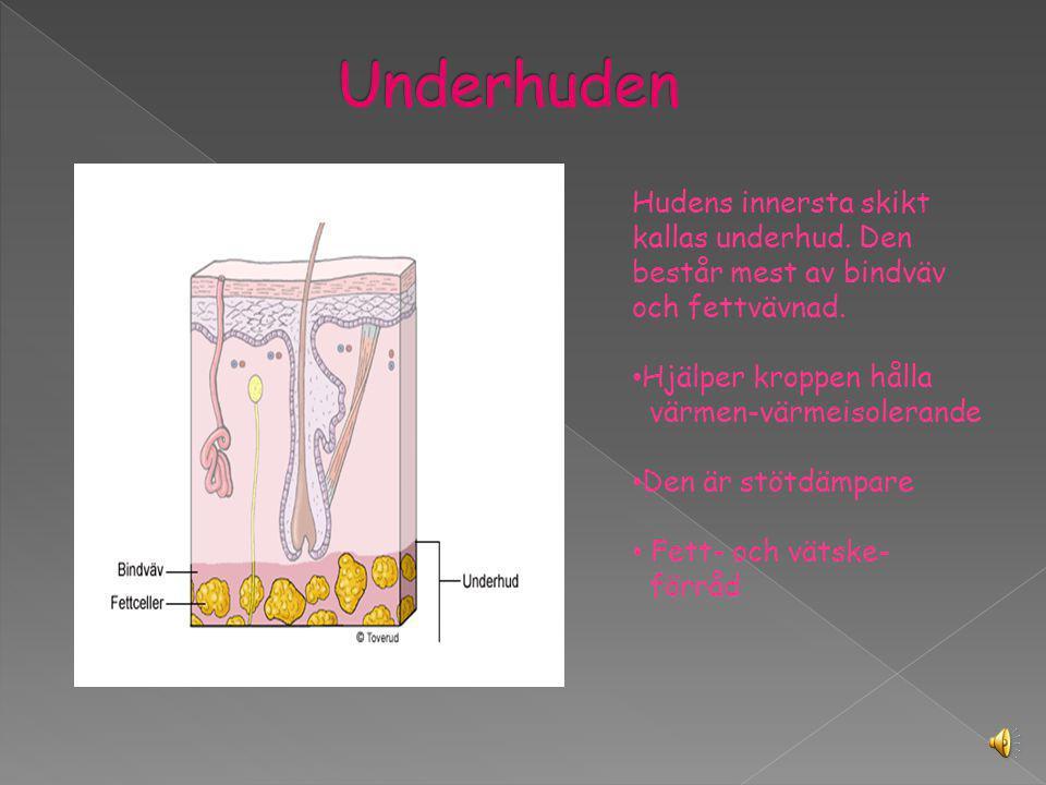 Under överhuden finns läderhuden. Den är full av blodkärl, känselkroppar, svettkötlar och av hårsäckar. Blodkärlen –levererar näring och transporterar