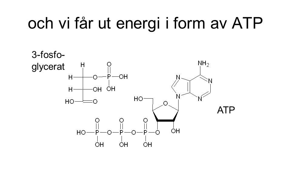 och vi får ut energi i form av ATP 3-fosfo- glycerat ATP