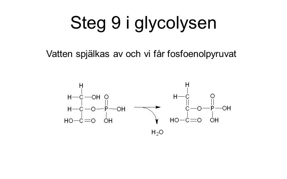 Steg 9 i glycolysen Vatten spjälkas av och vi får fosfoenolpyruvat