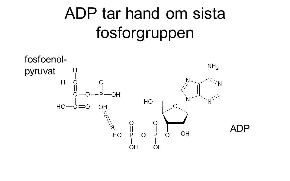 ADP tar hand om sista fosforgruppen fosfoenol- pyruvat ADP