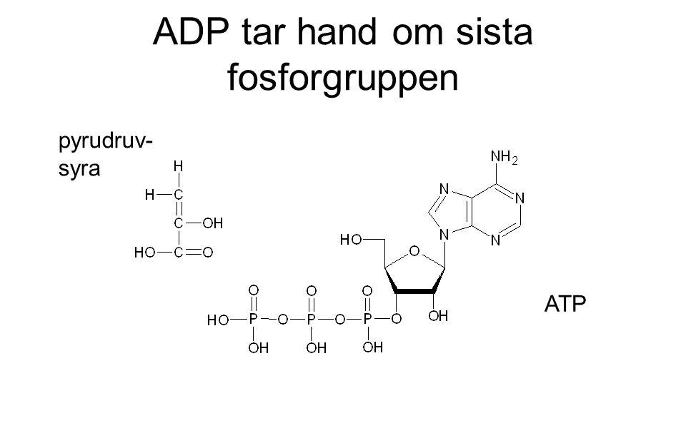 ADP tar hand om sista fosforgruppen pyrudruv- syra ATP