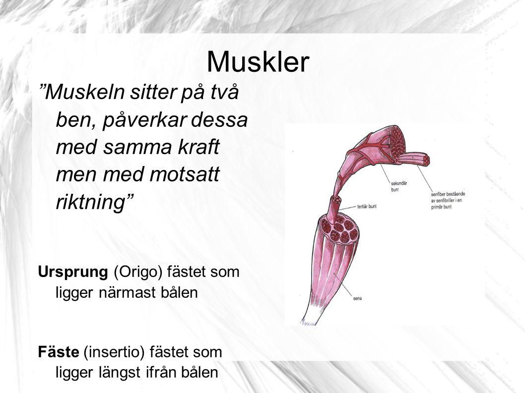 """Muskler """"Muskeln sitter på två ben, påverkar dessa med samma kraft men med motsatt riktning"""" Ursprung (Origo) fästet som ligger närmast bålen Fäste (i"""