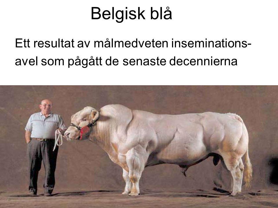 Belgisk blå Ett resultat av målmedveten inseminations- avel som pågått de senaste decennierna