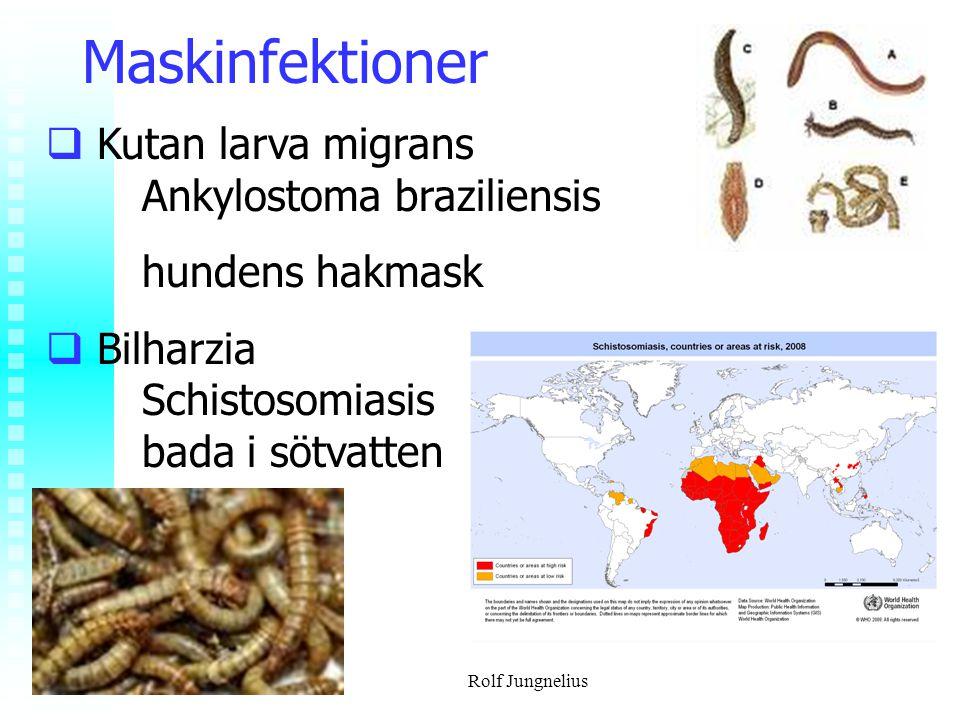 Rolf Jungnelius Maskinfektioner  Kutan larva migrans Ankylostoma braziliensis hundens hakmask  Bilharzia Schistosomiasis bada i sötvatten