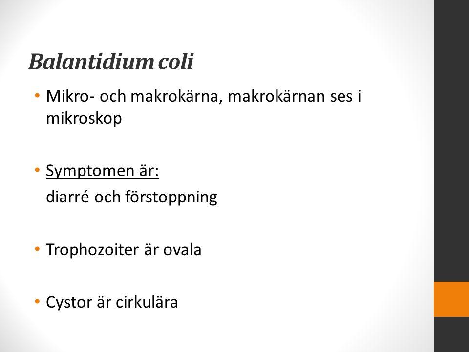 Balantidium coli Mikro- och makrokärna, makrokärnan ses i mikroskop Symptomen är: diarré och förstoppning Trophozoiter är ovala Cystor är cirkulära