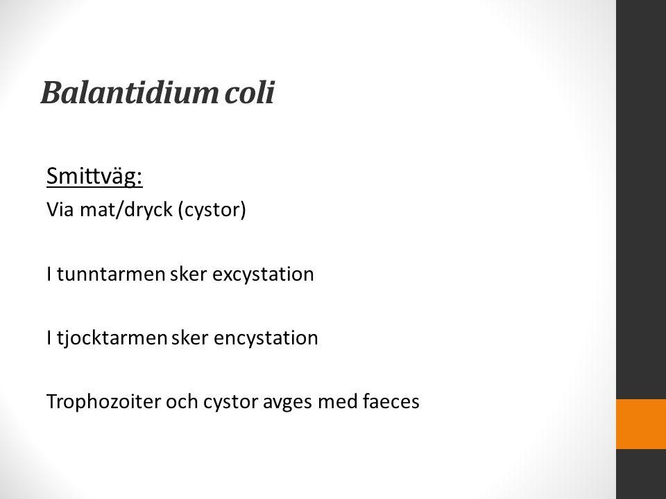 Balantidium coli Smittväg: Via mat/dryck (cystor) I tunntarmen sker excystation I tjocktarmen sker encystation Trophozoiter och cystor avges med faece