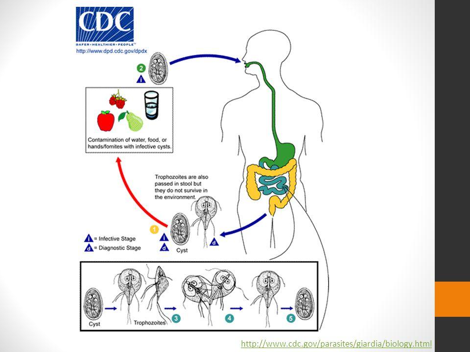 http://www.cdc.gov/parasites/giardia/biology.html