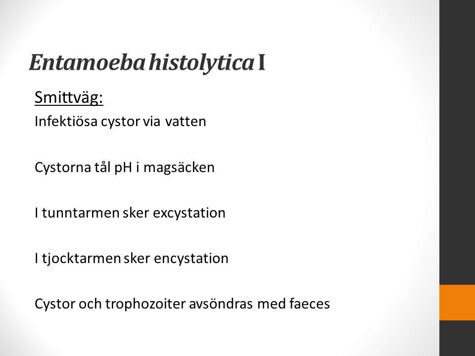 Entamoeba histolytica I Smittväg: Infektiösa cystor via vatten Cystorna tål pH i magsäcken I tunntarmen sker excystation I tjocktarmen sker encystatio