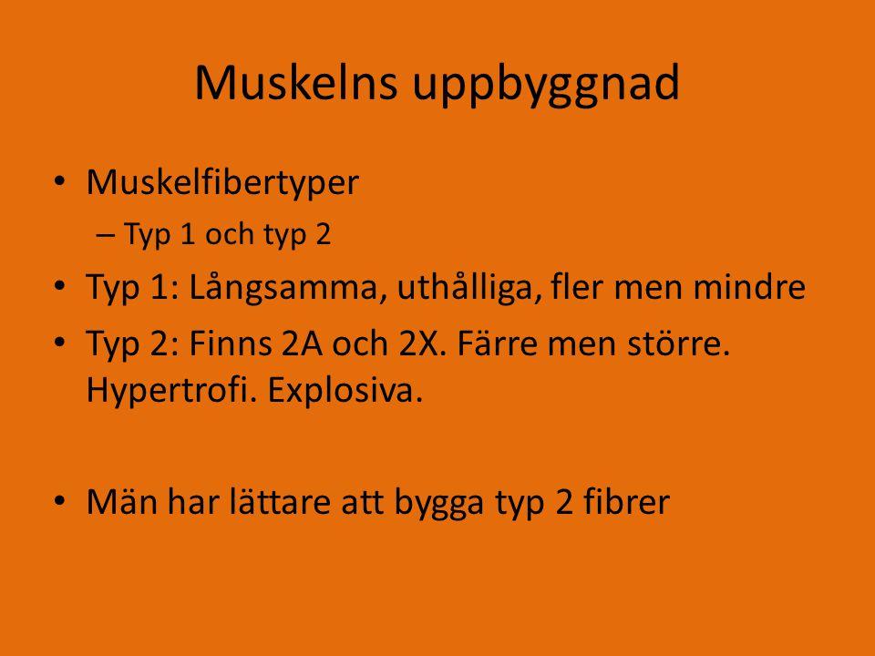 Muskelns uppbyggnad Muskelfibertyper – Typ 1 och typ 2 Typ 1: Långsamma, uthålliga, fler men mindre Typ 2: Finns 2A och 2X.