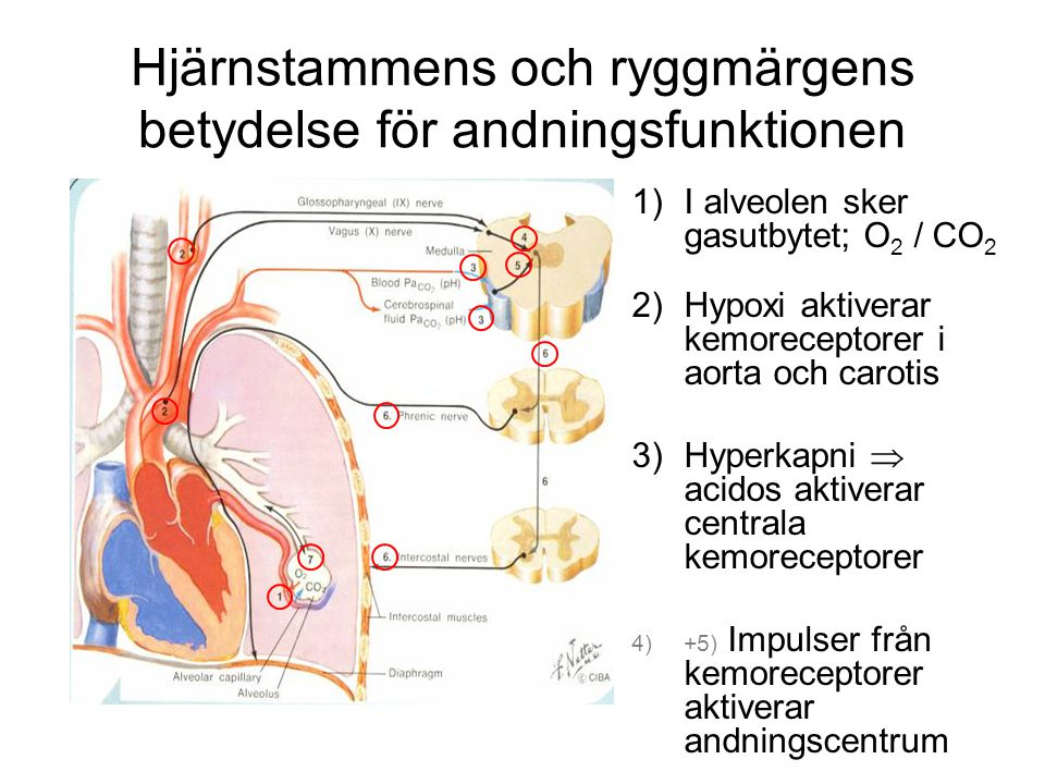 1)I alveolen sker gasutbytet; O 2 / CO 2 2)Hypoxi aktiverar kemoreceptorer i aorta och carotis 3)Hyperkapni  acidos aktiverar centrala kemoreceptorer 4)+5) Impulser från kemoreceptorer aktiverar andningscentrum