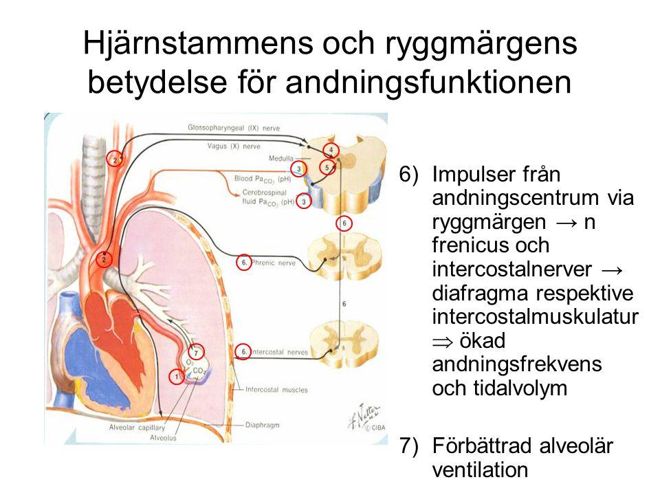 Hjärnstammens och ryggmärgens betydelse för andningsfunktionen 1)I alveolen sker gasutbytet; O 2 / CO 2 2)Hypoxi aktiverar kemoreceptorer i aorta och carotis 3)Hyperkapni  acidos aktiverar centrala kemoreceptorer 4)+5) Impulser från kemoreceptorer aktiverar andningscentrum 5) 6)Impulser från andningscentrum via ryggmärgen → n frenicus och intercostalnerver → diafragma respektive intercostalmuskulatur  ökad andningsfrekvens och tidalvolym 7)Förbättrad alveolär ventilation